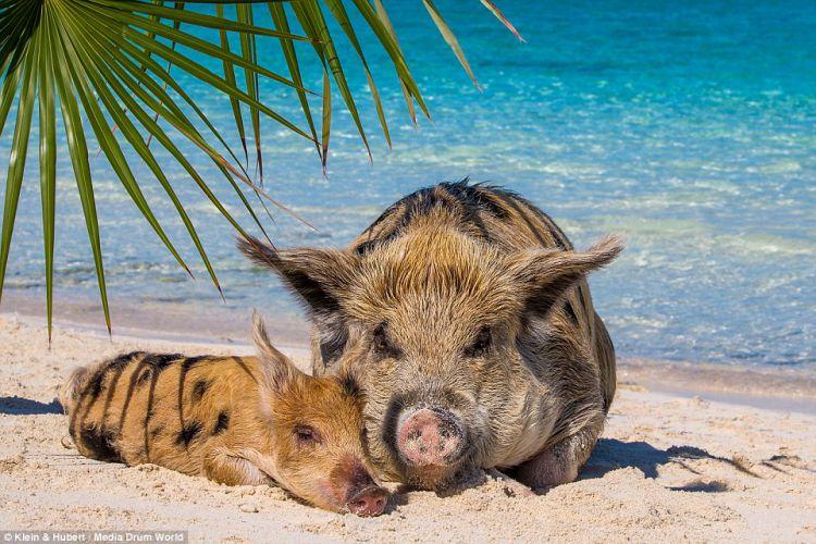 Райская жизнь свиней на Багамских островах