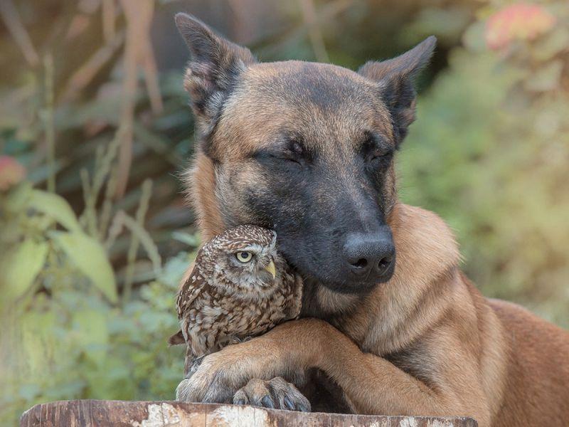 Удивительная дружба совы и овчарки
