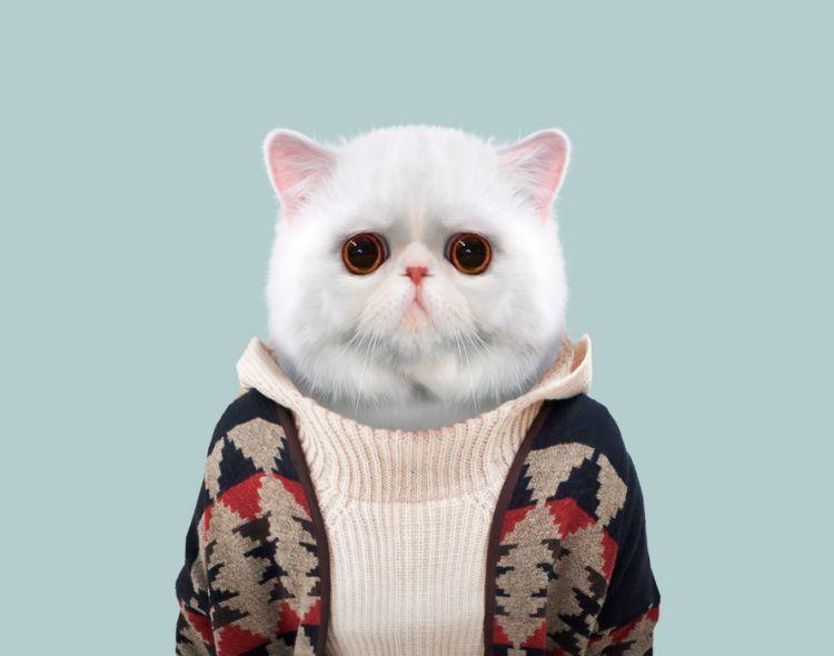 Зкзотическая короткошёрстная кошка