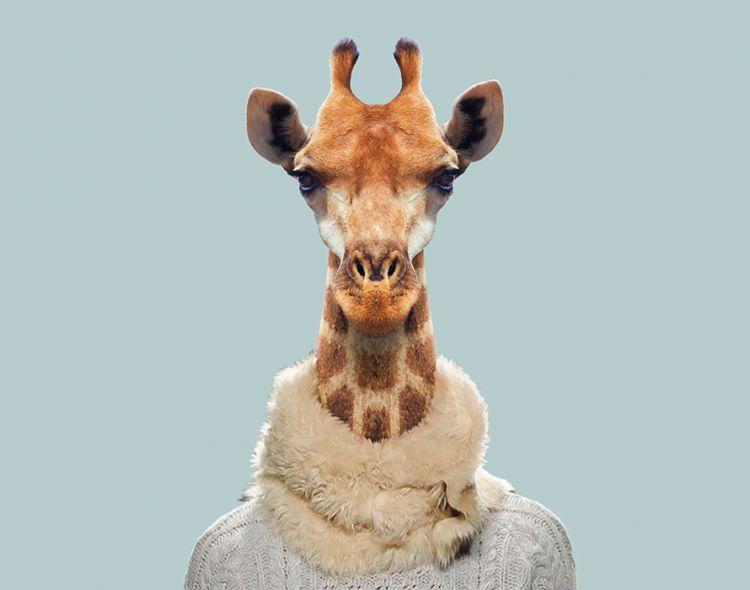 Южноафриканский жираф
