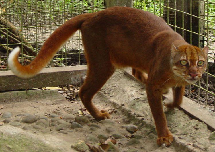 rare wild cats bay cat (catopuma badia)
