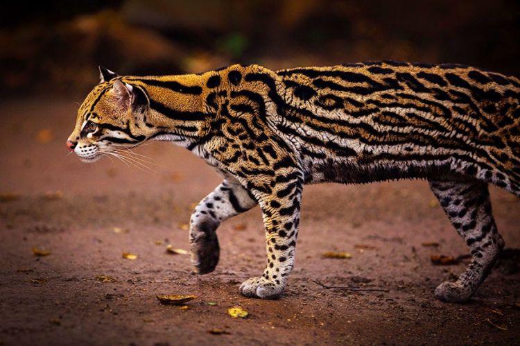 20 редких диких кошек