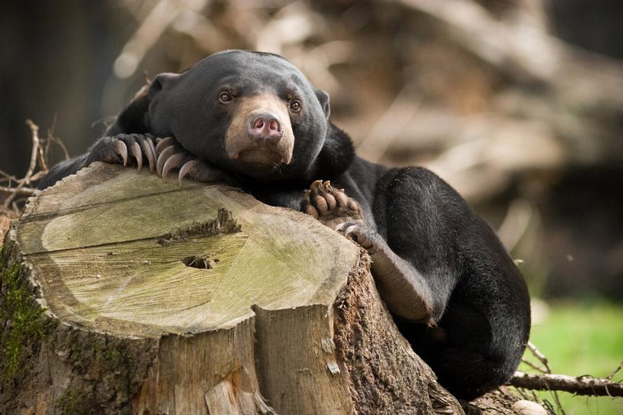 Самый маленький и очень редкий медведь