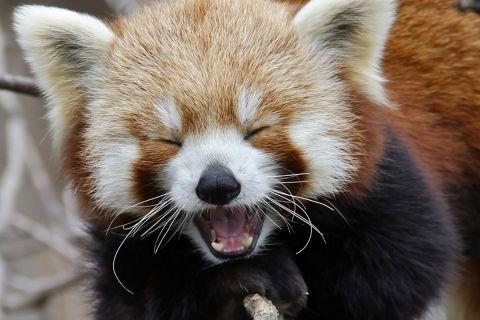 40 фотографий очаровательных малых панд