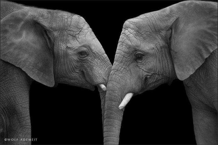 Фотограф показал, что слоны тоже умеют любить