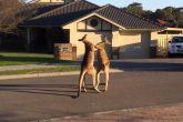 Уличная драка диких кенгуру