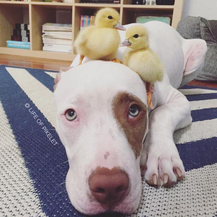 Удивительная дружба между собаками и утятами