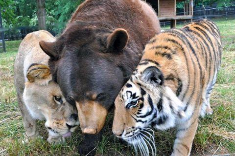 Медведь, лев и тигр — неразлучные друзья