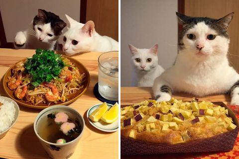 Эти кошки обожают наблюдать за тем, как едят их хозяева
