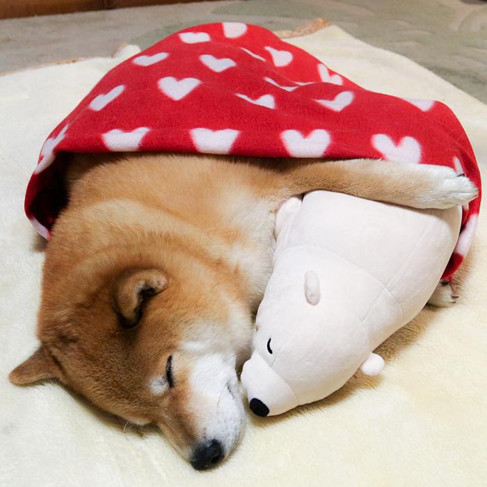 Пёс породы сиба-ину и его любимый плюшевый мишка