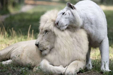 Белый лев — ожившая легенда