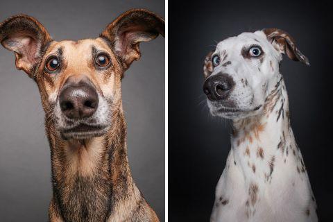 Вопрошающий взгляд с эмоциональных портретов собак