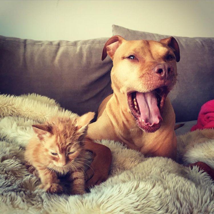Питбуль Бубба и его приёмный котёнок