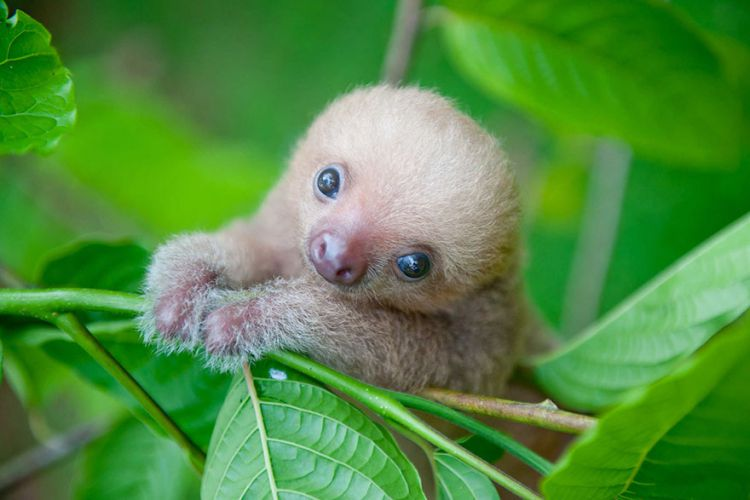 Очаровательные малыши-ленивцы