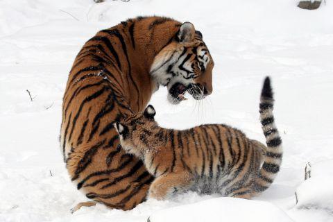 Благодарность тигрицы